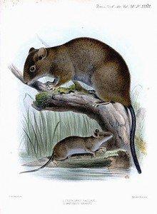 Le Hamster dans HAMSTER - COBAYE crunomys_fallax_and_batomys_granti-220x300