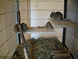 l'octodon ou dègue rongeur du Chili dans HAMSTER - COBAYE diegue