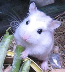 Hamster d'Europe ou Cochon des blés dans HAMSTER - COBAYE europe