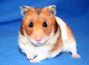 Le cochon d'Inde : cobaye de compagnie dans HAMSTER - COBAYE goldhamster_21