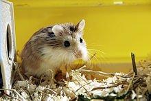 Domestication du hamster dans HAMSTER - COBAYE hams1