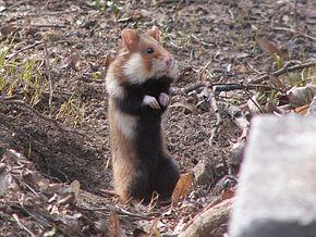 Protection du Hamster dans HAMSTER - COBAYE hamster