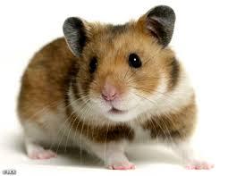 Le cobaye est un herbivore strict. dans HAMSTER - COBAYE hamster2