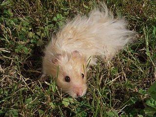 Hamster doré dans HAMSTER - COBAYE hamster_dore_angora_beige