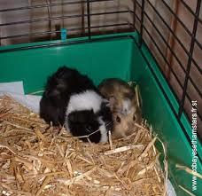 Différence entre Cobaye et Hamster dans HAMSTER - COBAYE images-21