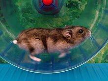 Jeux divers avec le Hamster dans HAMSTER - COBAYE jeu