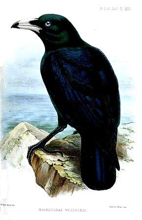 Fils du Corbeau  dans CORBEAU macrocorax_woodfordi