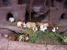 Comportement du Cobaye dans HAMSTER - COBAYE peru_guinea_pigs