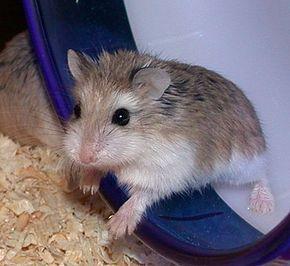 Hamster de Roborovski dans HAMSTER - COBAYE roborovski_hamster