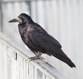 Le corbeau créateur dans CORBEAU rook-corvus_frugilegus