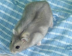 Le hamster Russe dans HAMSTER - COBAYE russe