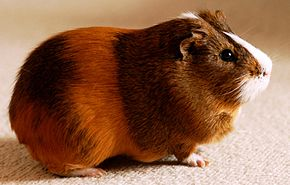 Origines du Cochon d'Inde dans HAMSTER - COBAYE yoyocochondinde