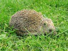Le hérisson de Roujan dans HERISSON 220px-2008_hedgehog_1020932