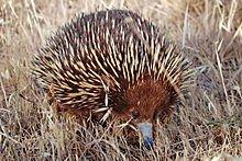 Le fourmilier à piquants dans HERISSON 220px-wild_shortbeak_echidna