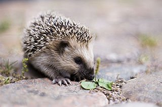 Hérisson commun dans HERISSON 320px-keqs_young_european_hedgehog1