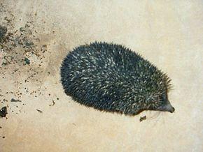 tout savoir sur le hérisson dans HERISSON ab001_hedgehog_from_rajasthan