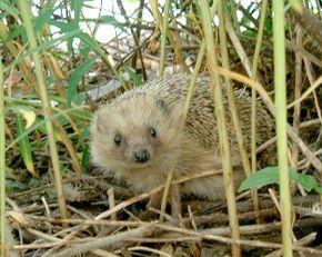 Un mangeur d'insectes gourmand : le Hérisson dans HERISSON hedgehog-en1