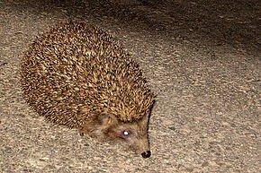 Hérisson piquant dans HERISSON hedgehog1