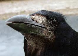 La plume du corbeau 1 dans CORBEAU images-10