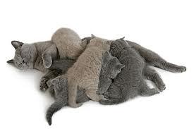 Nourrir une chatte en gestation et en lactation dans CHAT images-28