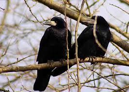 Destin du Corbeau-Genévrier dans CORBEAU images-39