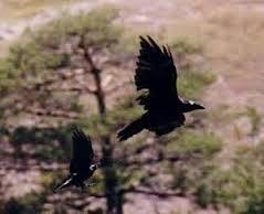 Caractère du Corbeau-Genévrier dans CORBEAU images-40