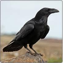 La plume du corbeau 2 dans CORBEAU images-9