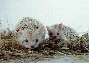 Le Hérisson a des amours qui durent cinq mois dans HERISSON long_eared_hedgehog