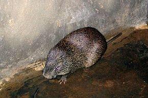 Le Grand aulacode, rat des roseaux dans HERISSON
