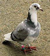 Projet Pigeon dans PIGEON - COLOMBE 170px-racing_pigeon_rataedl