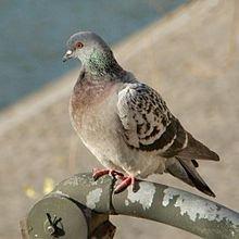 Des pigeons colonisateurs dans PIGEON - COLOMBE 220px-pigeon_de_paris