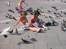 Comportement du Pigeon dans PIGEON - COLOMBE 220px-pigeons4