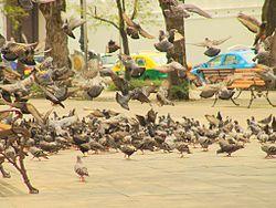 Nuisance, le Pigeon ? dans PIGEON - COLOMBE 250px-bangkok-sa8