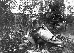 Les pigeons Soldats dans PIGEON - COLOMBE 250px-bundesarchiv_bild_183-r01996_brieftaube_mit_fotokamera1
