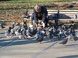 REVER DE PIGEON dans PIGEON - COLOMBE 250px-man_feeding_pigeons