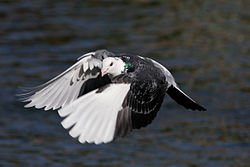 Le Pigeon dans PIGEON - COLOMBE 250px-pigeon_in_flight_dtab