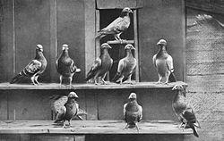 Pigeon voyageur dans PIGEON - COLOMBE 250px-pigeons_voyageurs