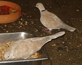 Tourterelle domestique dans PIGEON - COLOMBE 330px-barbary_dove