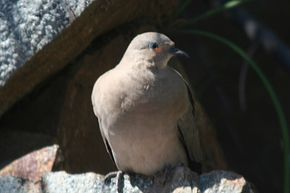 La Colombe Dans La Mythologie Grecque dans PIGEON - COLOMBE black-winged_ground-dove