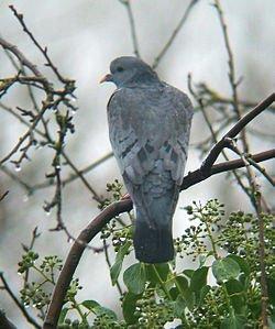 Régression du Pigeon Colombin dans PIGEON - COLOMBE columba_oenas0