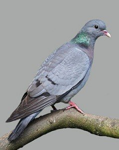 Le Pigeon colombin dans PIGEON - COLOMBE columbaoenas-239x300
