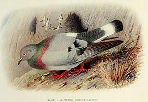 le Pigeon des rochers dans PIGEON - COLOMBE columbarupestris
