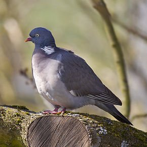 Reproduction du Pigeon dans PIGEON - COLOMBE common_wood_pigeon