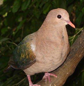 La Boussole des Pigeons dans PIGEON - COLOMBE emerald_dove