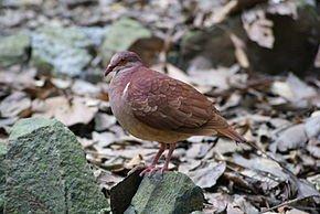 Les colombes de Fatima dans PIGEON - COLOMBE geotrygon_montana_parc_des_mamelles_guadeloupe_2010-04-04