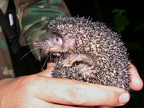 Légende du hérisson dans HERISSON greater_hedgehog_tenrec_setifer_setosus