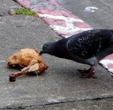 le pigeon est commensalisme dans PIGEON - COLOMBE images-14