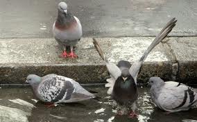 Nourrissage nuisible aux Pigeons (?) dans PIGEON - COLOMBE images-4