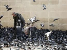 Pigeons des villes dans PIGEON - COLOMBE images-7