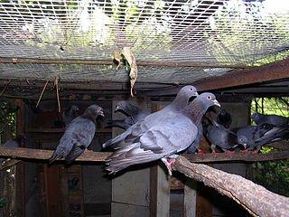 Réunion des Pigeons Ramier dans PIGEON - COLOMBE palombiere_4